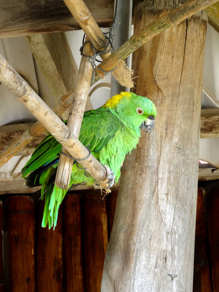 Yellow Naped Parrot