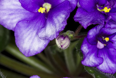 African Violet Time-Lapse 2015