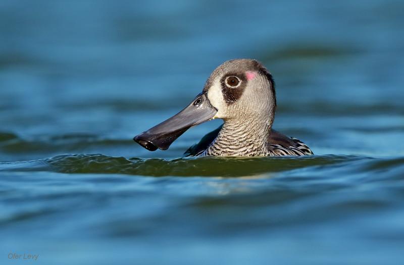 Pink-eared Duck 2.jpg