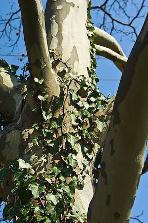 Genus Platanus - Sycamore and Plane Trees