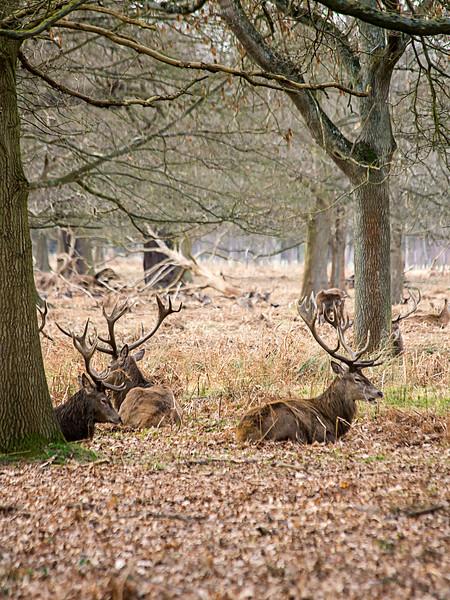 Wild Stags in Richmond Park, London