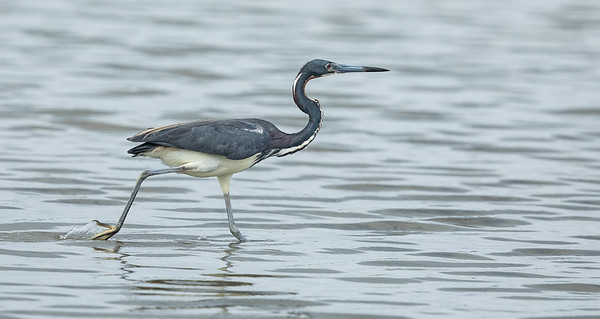 aigrette tricolore, tricolored heron