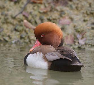 Sylvan Heights Waterfowl Park 11-19-11