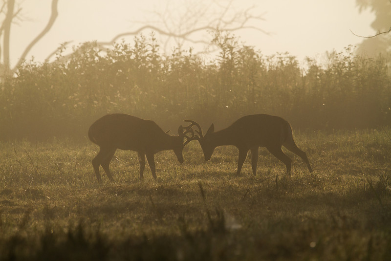 Bucks in velvet sparring