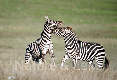 California Zebras