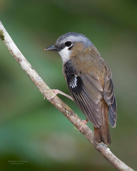 Grey-headed Robin, Lake Eacham, QLD, Dec 2014-1.jpg