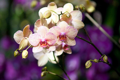 Orchids 26-Feb-10