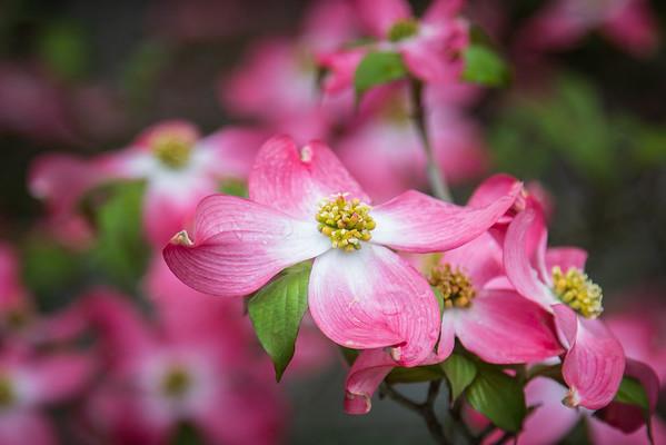 PinkDogwoods_Spring2018