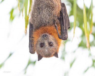 Flying Foxes & Old World Fruit Bats (Pteropodidae)