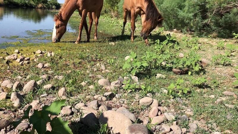 Videos of the Arizona Wild Horses