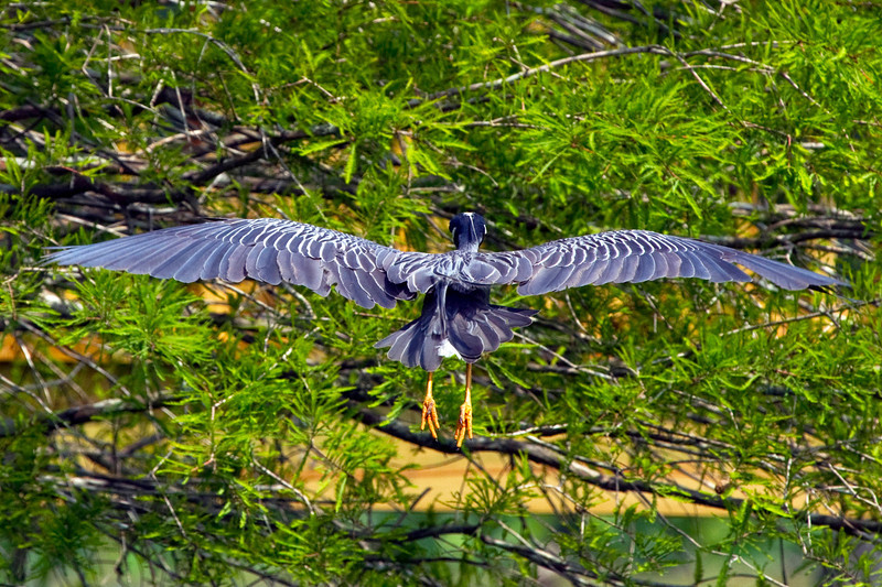 Yellow-crested night heron in flight, Brazos Bend Park, TX
