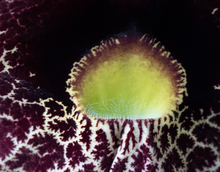 dutchmans pipe closeup