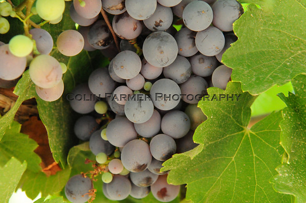 Noble Grapes