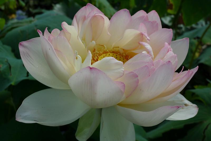 20120105_1455_6158 lotus