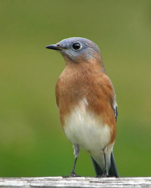 bluebird_fledgling_2849.jpg