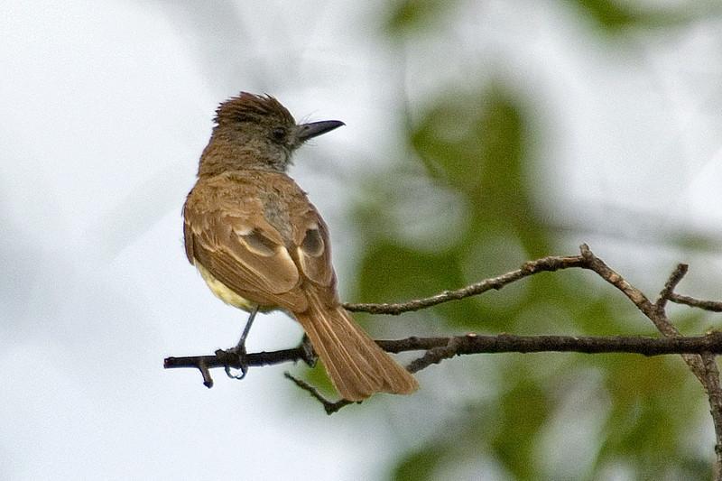 Flycatcher - Dusky-capped - Sycamore Canyon, AZ