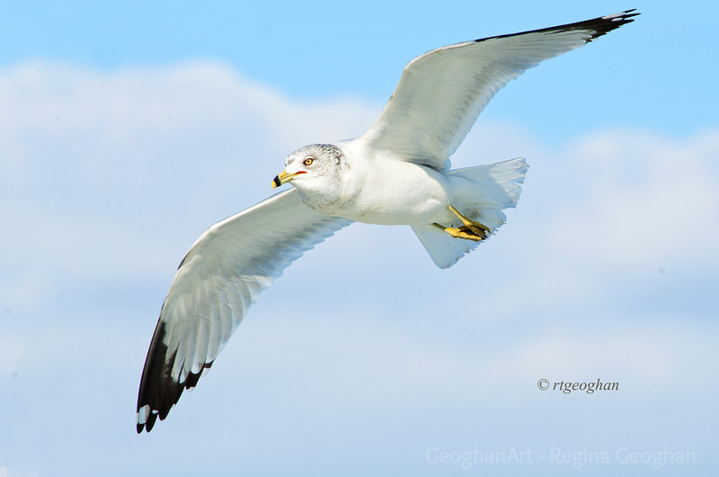 Day 44: Ring-billed Gull in Flight - Feb 13, 2013  Thanks to all who posted supportive comments for my fence photo yesterday.