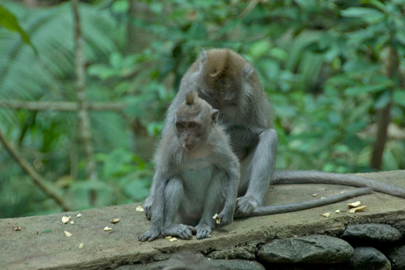 Two monkeys sporting faux hawks spotted in Bali, Indonesia
