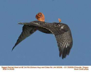 Red-tailed Hawk 8Y-30348.jpg