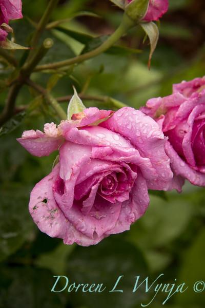 Rosa 06-01781 one_7004.jpg