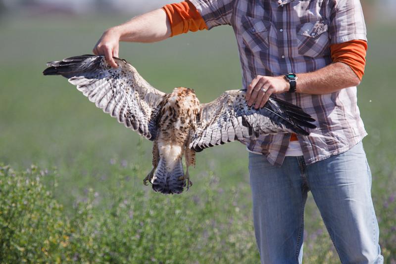 Swainson's Hawk juvenile roadkill held by Brian Sullivan (1) at Firebaugh, CA (07-18-2009)