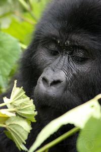Wild mountain gorilla enjoying morning foliage. Bwindi Impenetrable Forest, Uganda.