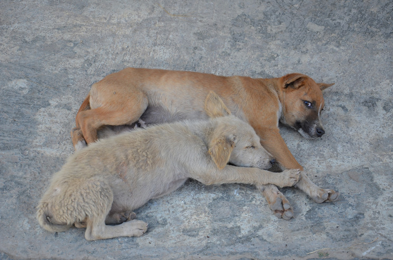 DSC_4227-resting-dogs.JPG