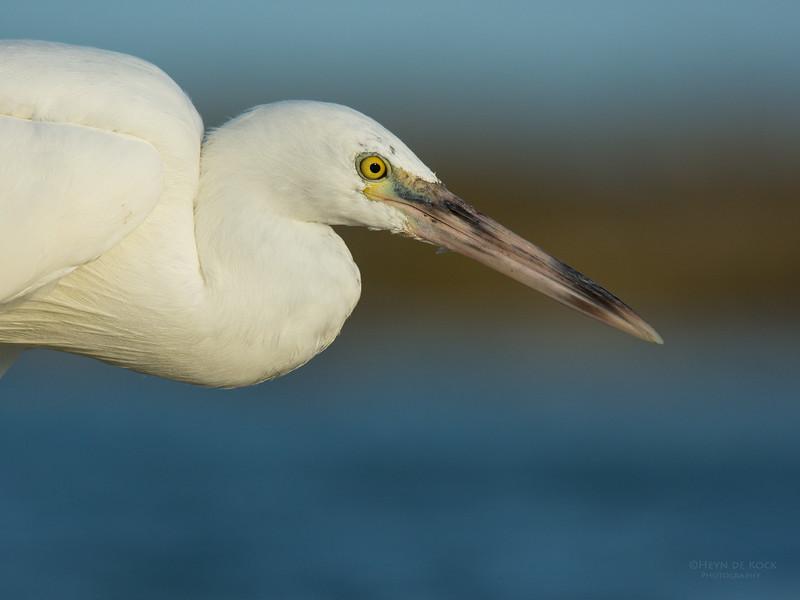 Eastern Reef Egret, Lady Elliot Island, QLD, Dec 2015-1.jpg