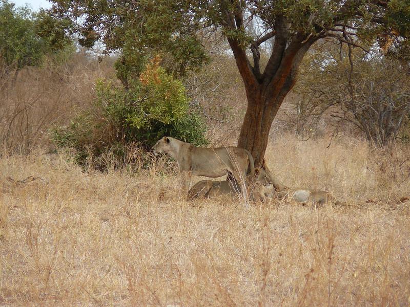 Lions Tsavo East.jpg