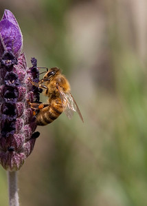 04-16-2010 Bees in Lavender