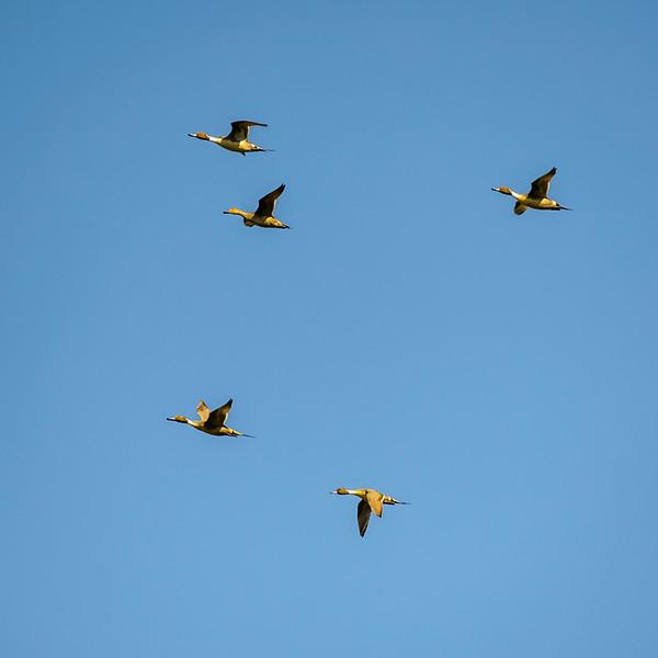 Geese in Formation.jpg