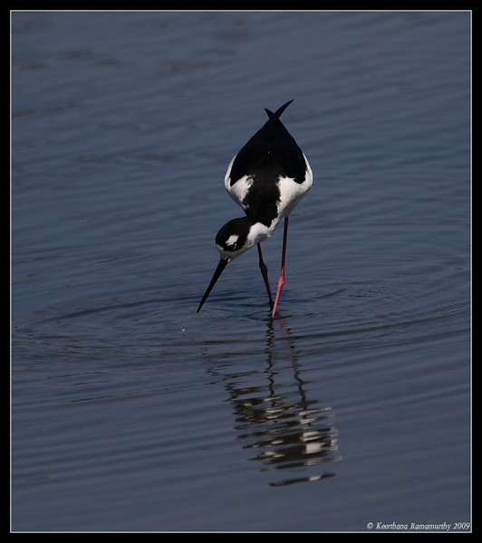Black-necked Stilt, Famosa Slough, San Diego County, California, April 2009