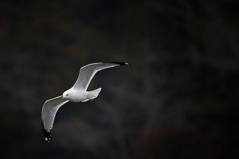 2.21.18 - Prairie Creek Marina: Ring-billed Gull