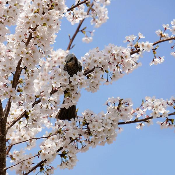 NaomiLocardi-Fujiyoshida-Bird-in-tree.jpg