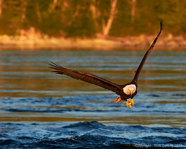 Bald Eagle with Hake #4