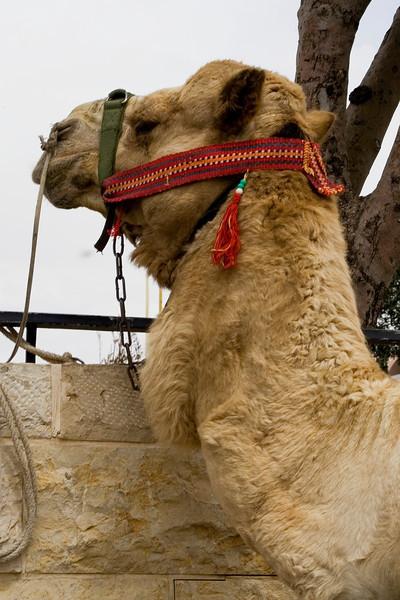 Israeli Camel.jpg