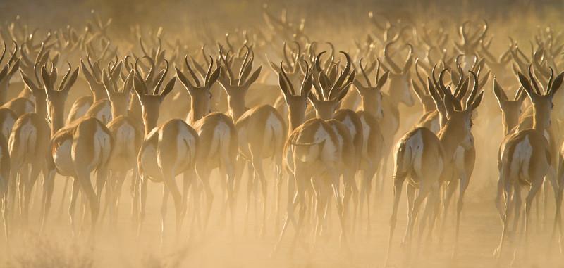 Fleeing Springbok herd, Kalahari Desert