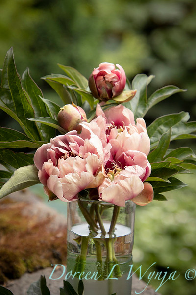Paeonia x 'RTPIV791-38' Caroline Constabel - Peony cut flowers_1224.jpg