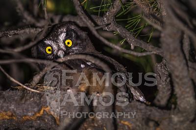 Owl-Boreal Owl Babies