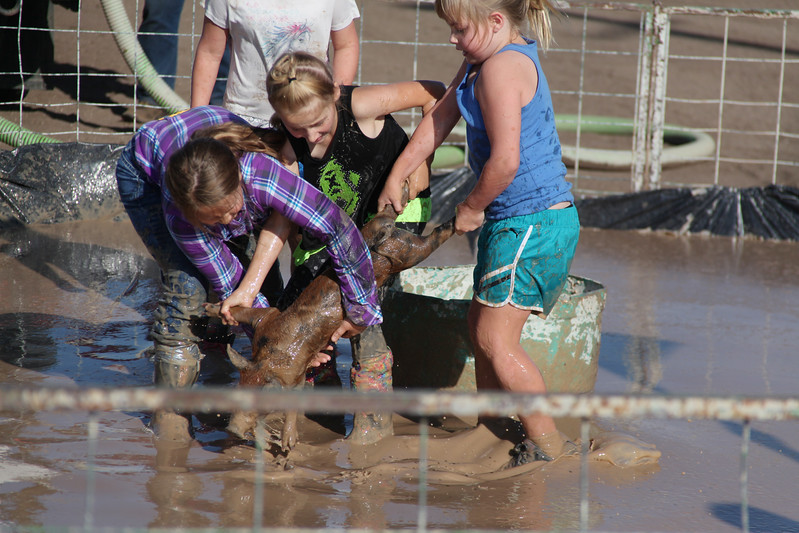 Havre Daily News / Floyd Brandt  Pig Wrestling at Blain County Fair Sunday team Muddy Pigsl