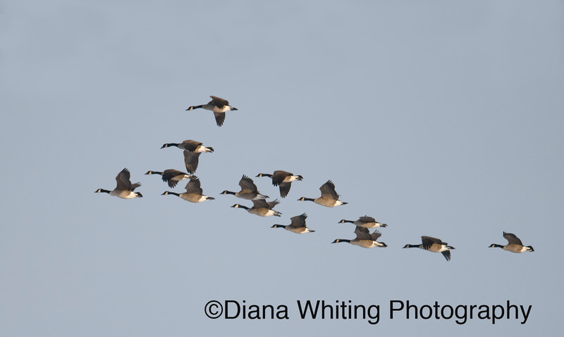 Geese in flight  .jpg