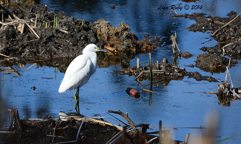 Snowy Egret  - 12/14/2014 - Poway Pond (private side)
