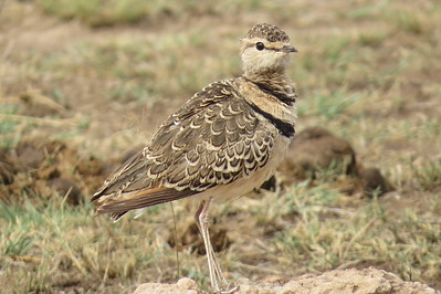 Pratincoles and Coursers (Glareolidae)