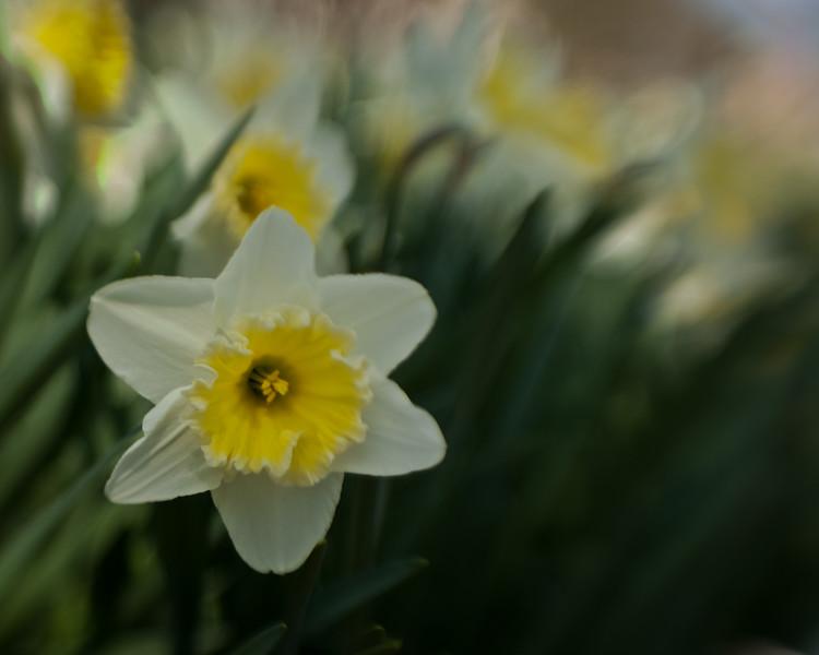 Daffodils_3-19-11-13.jpg