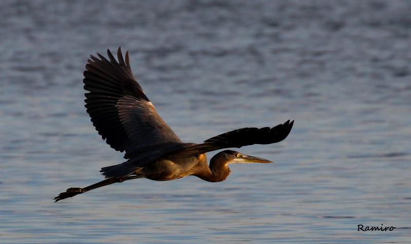 Heron Braunig 11-9-15 078.jpg