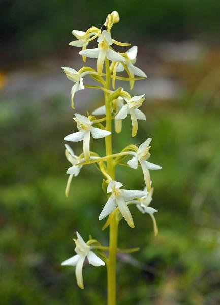 P. bifolia Bodo 10-07-17 (4).jpg