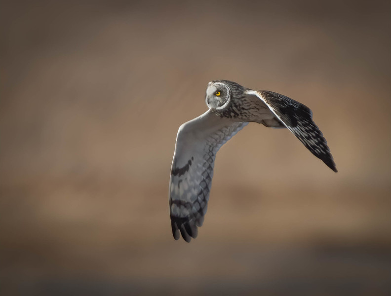 _5002391-Edit Short-eared Owl into the light.jpg