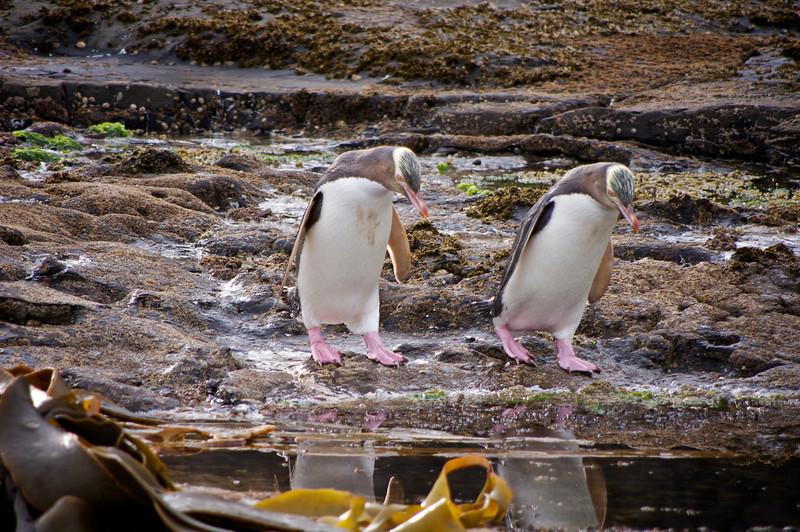 Yellow eyed penguins, Curio Bay