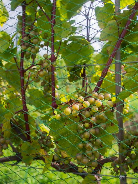 roost wine company lacadie blanc grapes.jpg