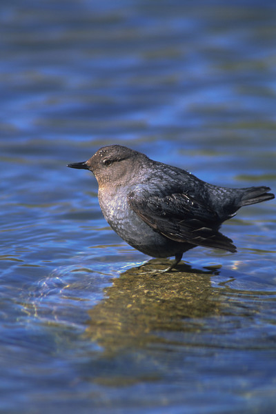 Dippers, Kingfishers